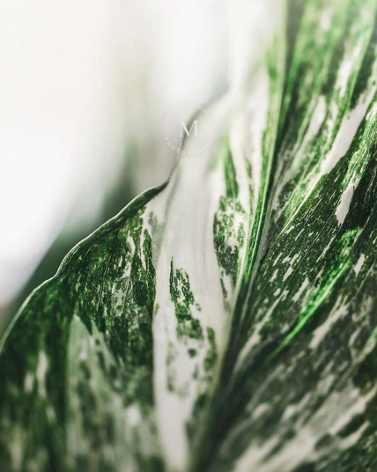 Panaschierung Spathiphyllum Diamond